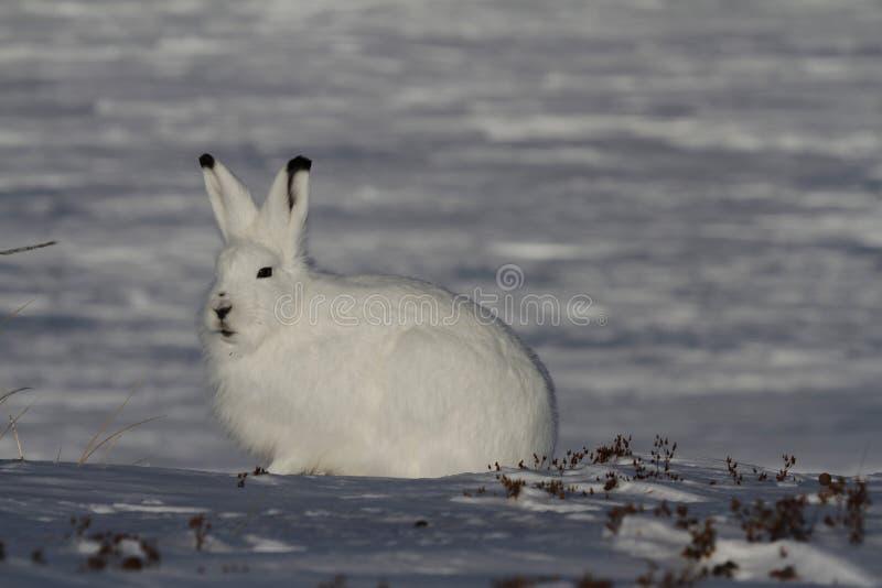 北极野兔天兔座arcticus凝视入距离,在亚怀亚特附近,努纳武特 库存图片
