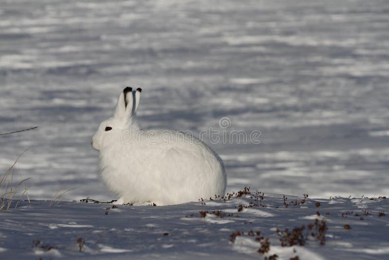 北极野兔天兔座arcticus凝视入距离,在亚怀亚特附近,努纳武特 免版税库存图片