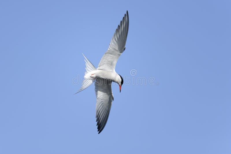 北极paradisaea胸骨燕鸥 库存图片