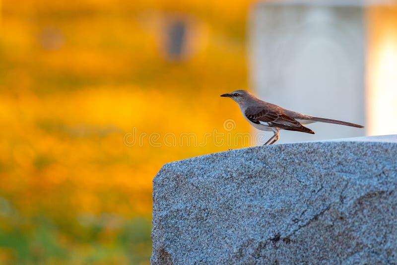 北模仿鸟坐岩石在日落 免版税库存照片
