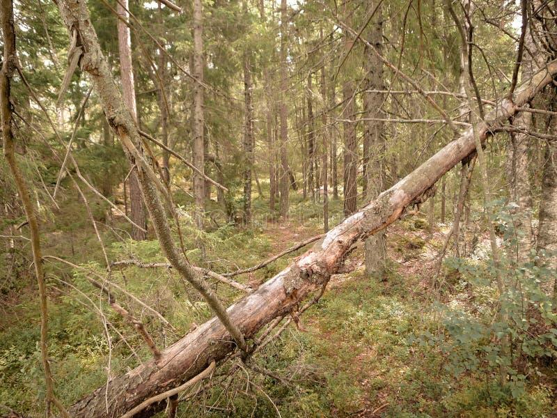 北欧森林地 库存图片