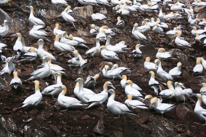 北殖民地的gannet 免版税库存照片