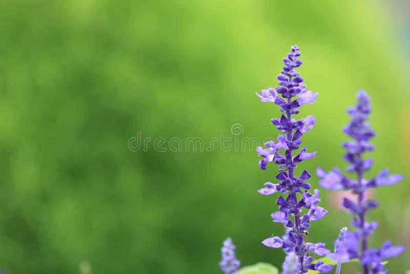 Download 北海道淡紫色 库存照片. 图片 包括有 紫色, 夏天, 日本, 空白, 北海道, 淡紫色, 地产, 绿色 - 15699210
