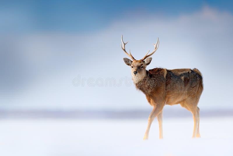 北海道sika鹿,鹿日本yesoensis,在雪草甸、冬天山和森林在背景中,动物与鹿角 免版税图库摄影