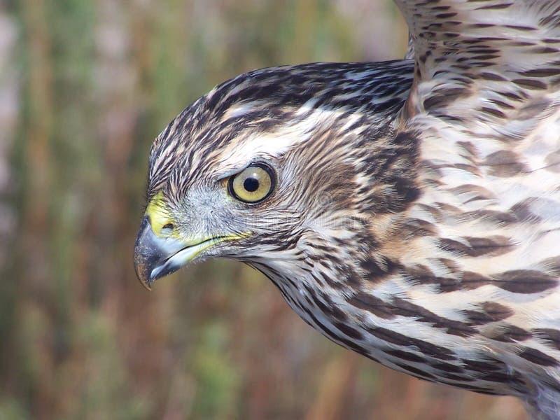 北的苍鹰 免版税库存图片