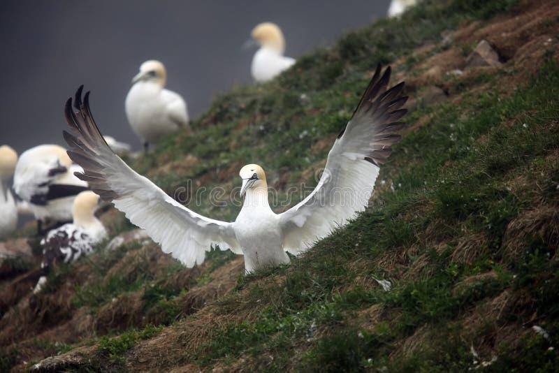 北的gannet 免版税库存照片