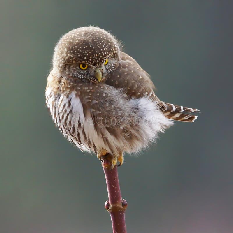北矮小猫头鹰- Glaucidium gnoma 免版税库存图片