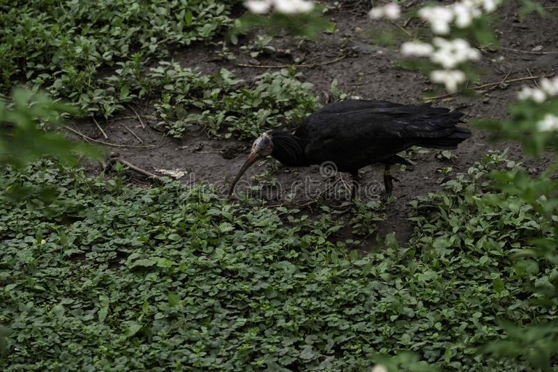北秃头朱鹭Geronticus eremita 免版税库存图片