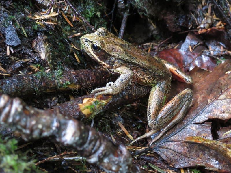 北红有腿的青蛙 免版税图库摄影