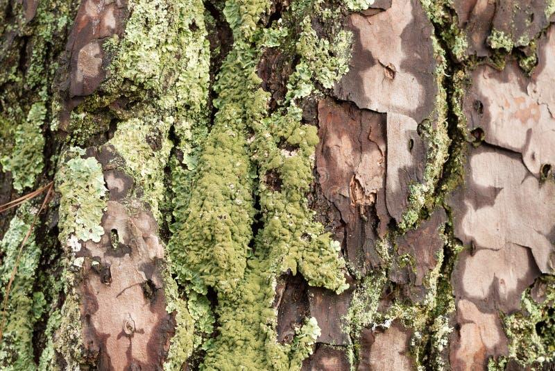 北美东海岸潮湿杉树的吠声从雨弄湿了有青苔摘要背景 免版税库存照片