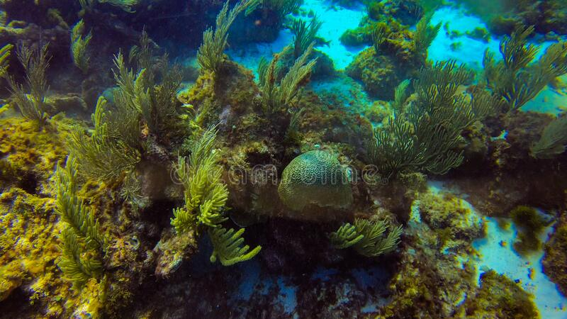 北美坎昆美丽的海洋生物珊瑚 库存图片