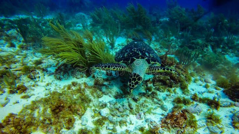 北美坎昆美丽的海洋生物珊瑚 库存照片