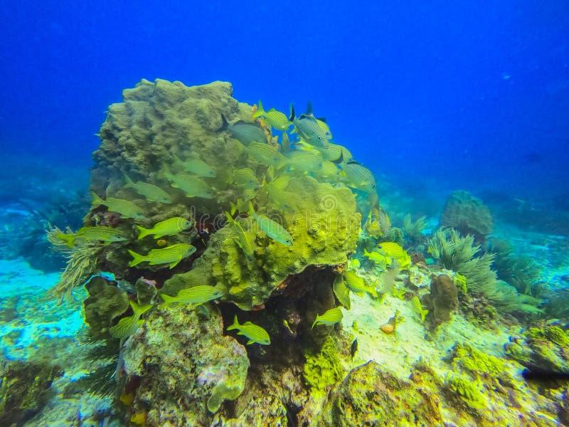 北美坎昆美丽的海洋生物 免版税图库摄影