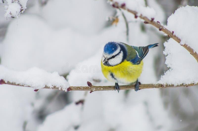 北美山雀坐积雪的分支在公园 免版税库存照片