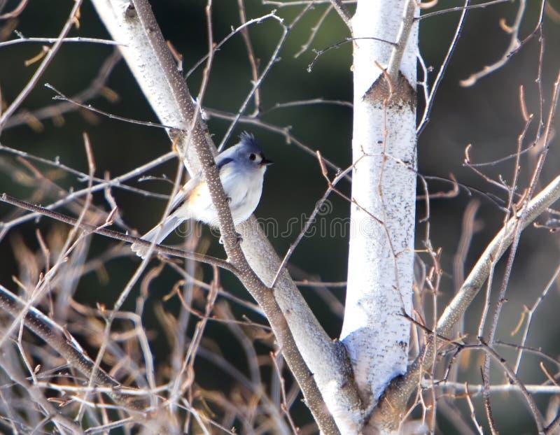 北美山雀簇生了 库存照片