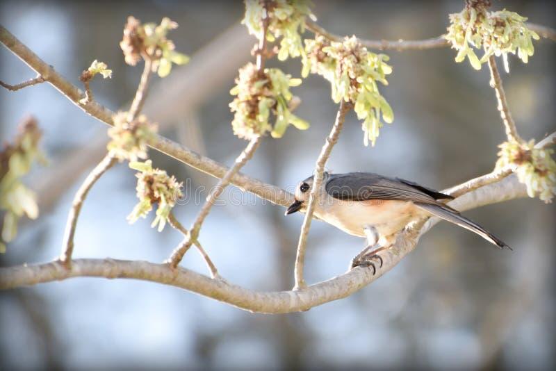 北美山雀簇生了 库存图片