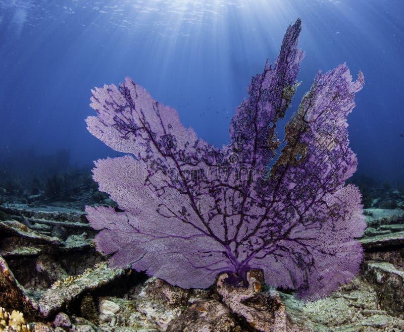 北美洲珊瑚礁 免版税库存图片