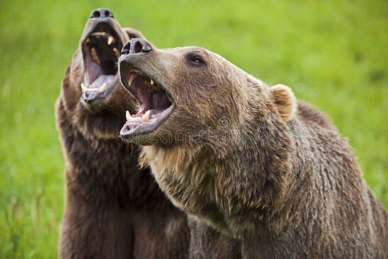 北美灰熊咆哮arctos的熊属类 图库摄影