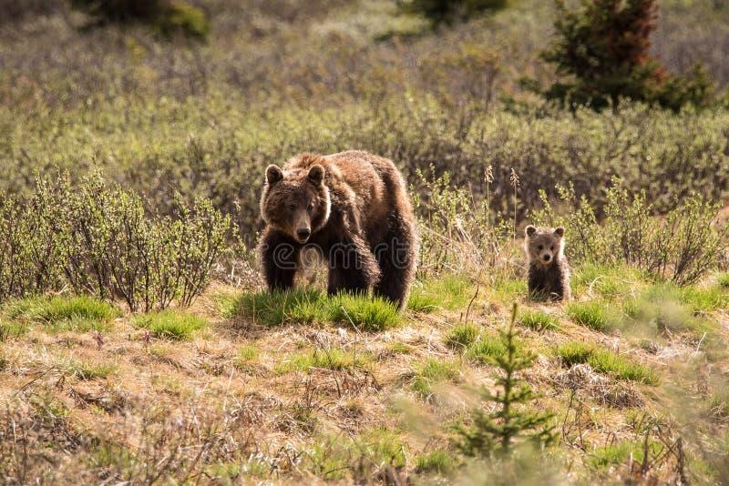 北美灰熊和她的崽在碧玉国立公园,加拿大 免版税图库摄影