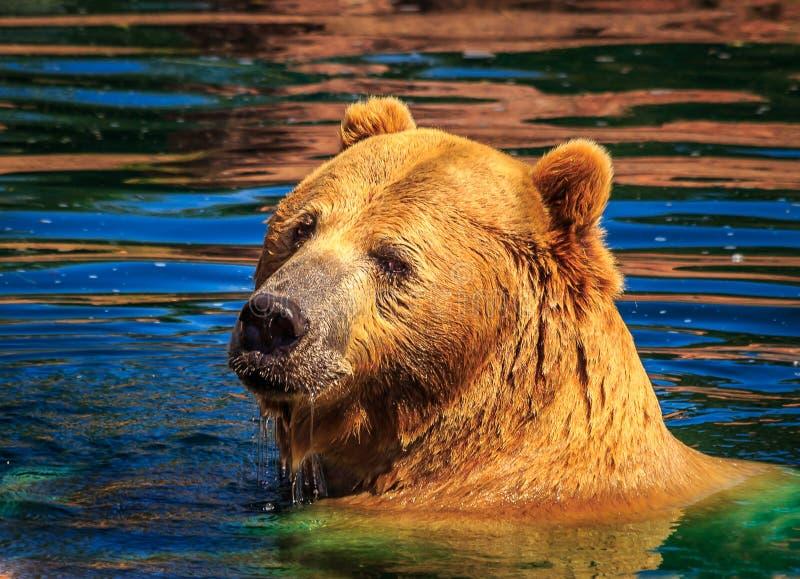 北美灰熊在扫视在肩膀的五颜六色的秋天池塘水中 免版税库存照片