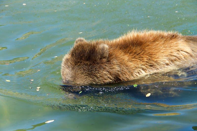 北美灰熊在水,被淹没的头中寻找鱼 库存图片