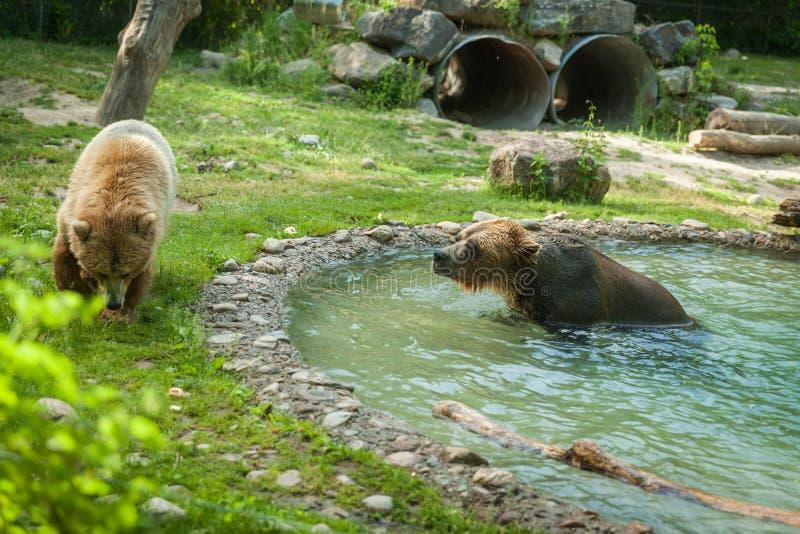 北美灰熊在游泳以后震动水在湖 库存照片