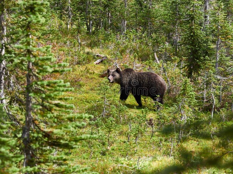 北美灰熊在草甸在雷夫尔斯托克加拿大 免版税库存图片