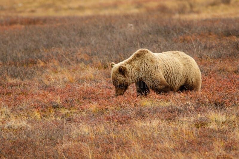 北美灰熊在阿拉斯加的寒带草原在Denali国家公园 免版税库存照片