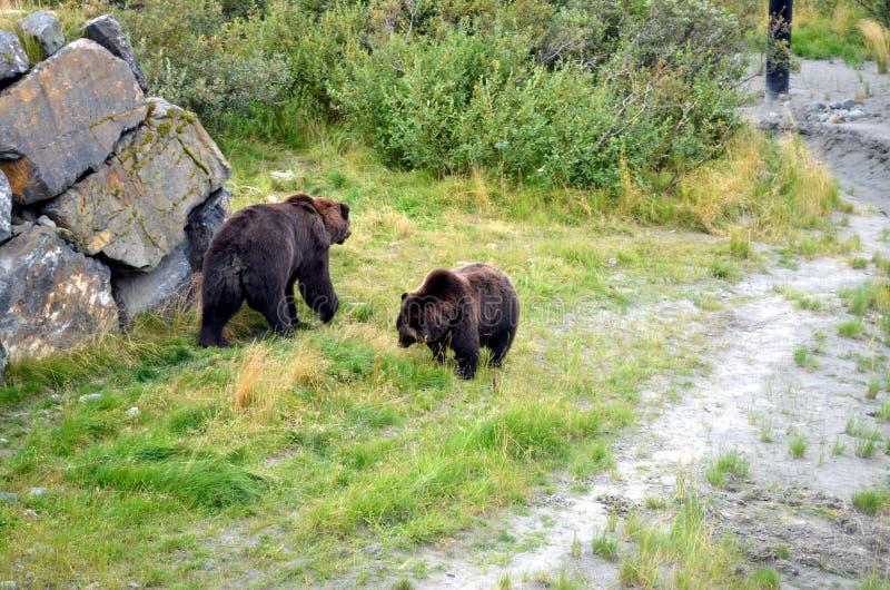北美灰熊在阿拉斯加 免版税库存照片