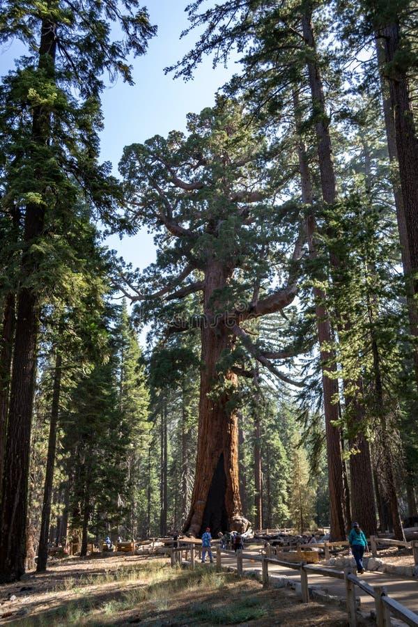 北美灰熊巨人是其中一棵最大的树在世界上 库存图片