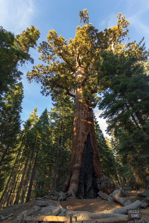 北美灰熊巨型美国加州红杉在优胜美地,加利福尼亚 免版税库存图片