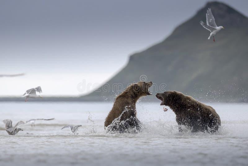 北美灰熊战斗 免版税库存图片