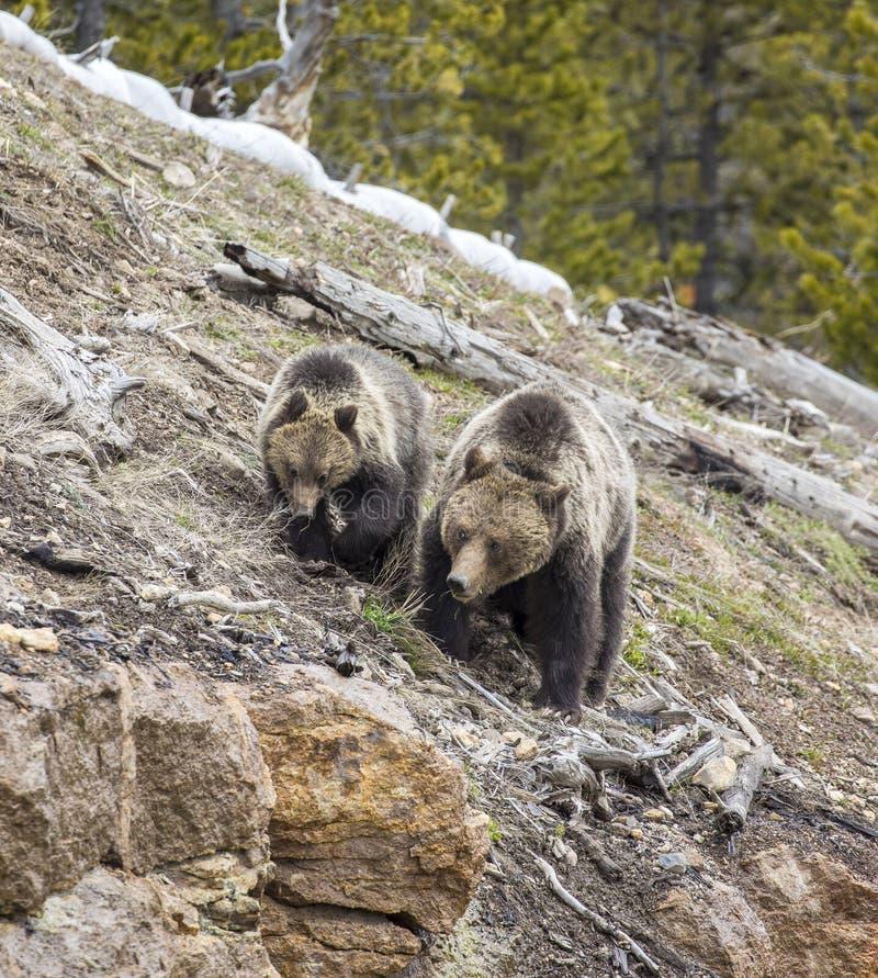 北美灰熊母猪和崽在山坡 免版税库存图片