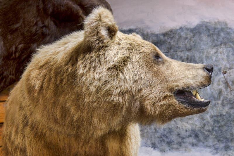 北美灰熊的外形 免版税库存图片