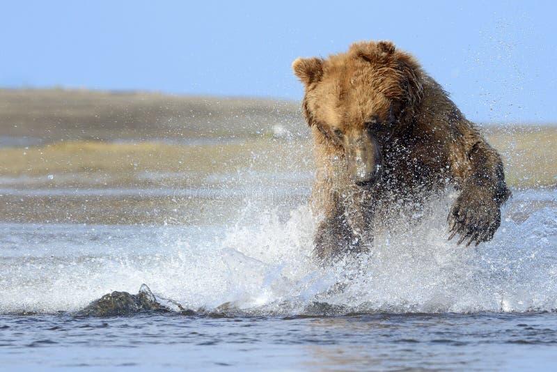 北美灰熊 免版税库存照片