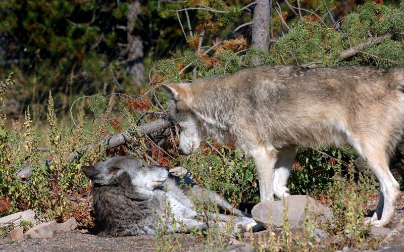 北美灰狼交锋 免版税库存照片