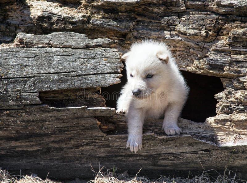 北美灰狼小狗 免版税库存照片