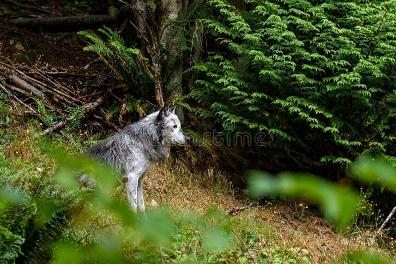 北美灰狼& x28; 天狼犬座& x29; 免版税库存图片