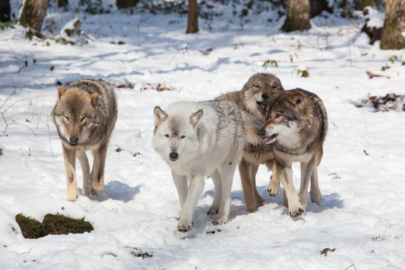 北美灰狼组装在冬天森林里 图库摄影