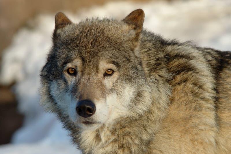 北美灰狼 库存图片