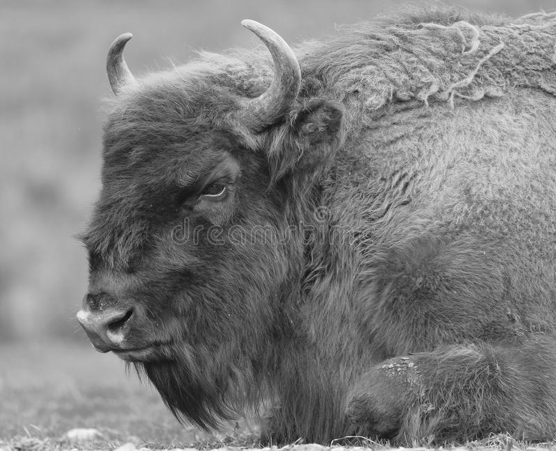 北美野牛休息 库存图片