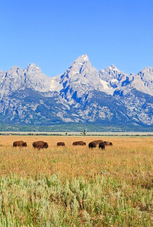 北美野牛全国越野障碍赛马公园teton 图库摄影