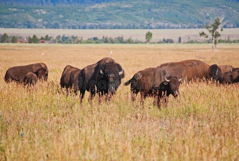 北美野牛全国越野障碍赛马公园teton 免版税图库摄影