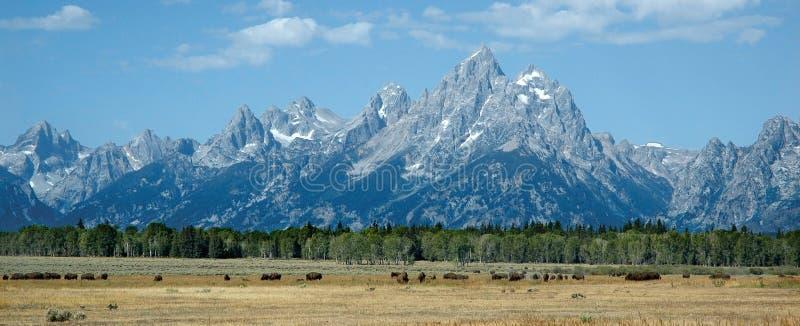北美野牛全部tetons 图库摄影