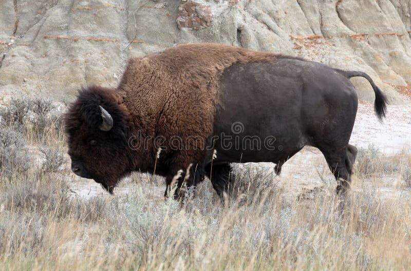 北美野牛国家公园罗斯福西奥多 库存图片