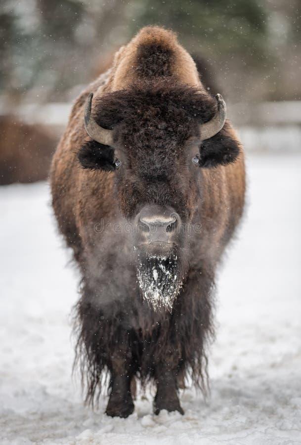 北美野牛在冬天 图库摄影