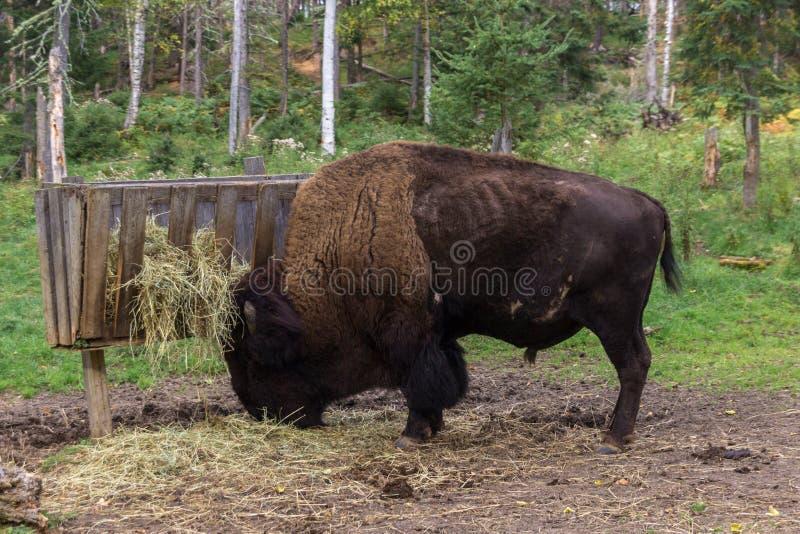 北美野牛在加拿大的森林里 免版税图库摄影