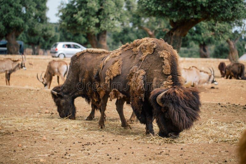 北美野牛在法萨诺apulia徒步旅行队动物园意大利里 库存图片