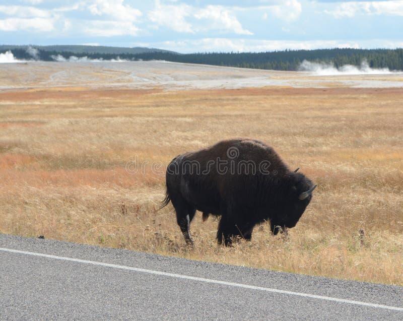 北美野牛在草甸在黄石NP 免版税库存照片