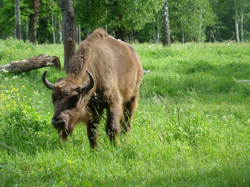北美野牛在草甸 图库摄影